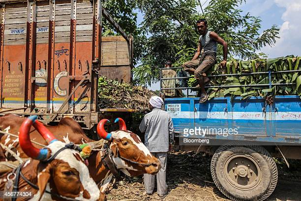 A bullock cart passes day laborers taking a break during a banana harvest in Bhusawal Maharashtra India on Saturday Oct 4 2014 More than 75 percent...