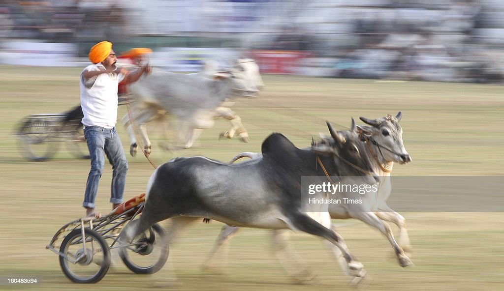 Bullock cart race in progress at Kila Raipur on the first day of 77th Rural sports festival at Kila Raipur on February 1, 2013 near Ludhiana, India. The Kila Raipur Rural Olympics is a rural sports festival that's grown over six decades, to become a sports bonanza that attracts competitors from around the globe. Held for three days during February each year, over 4,000 sports men and woman participate in the festival. They're watched by around 1 million spectators.