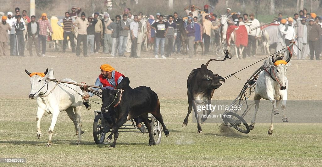 A Bullock cart went out of control during the first day of 77th Rural sports festival at Kila Raipur at Kila Raipur on February 1, 2013 near Ludhiana, India. The Kila Raipur Rural Olympics is a rural sports festival that's grown over six decades, to become a sports bonanza that attracts competitors from around the globe. Held for three days during February each year, over 4,000 sports men and woman participate in the festival. They're watched by around 1 million spectators.