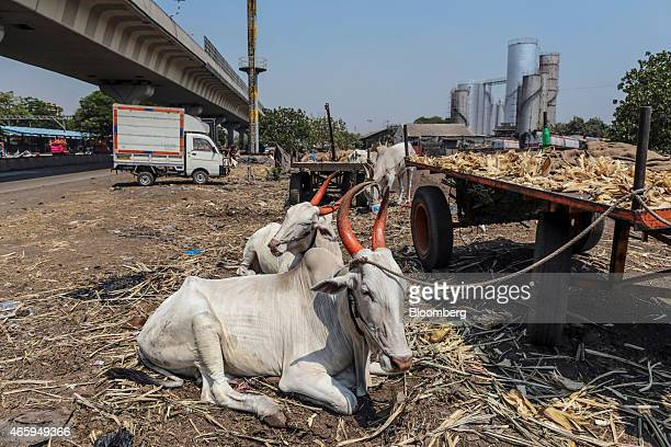 Bullocks sit tied to a cart in Mumbai India on Wednesday March 11 2015 The government of the state of Maharashtra last week banned possession of beef...