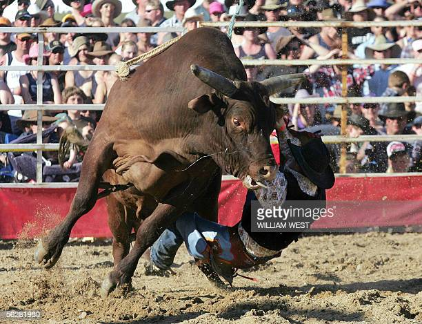 WITH 'AUSTRALIAANIMALSBULLRIDERS' MORE ON IMAGE FORUM A bullrider on the Australian rodeo circuit struggles with a raging bull at a bull ride in the...