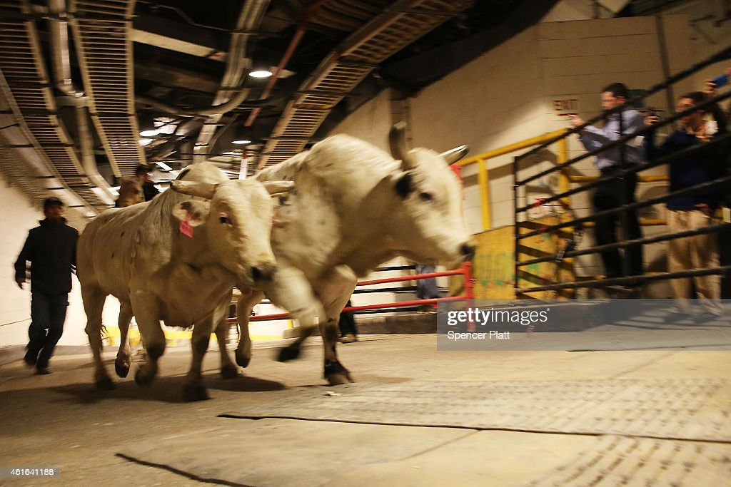 Annual bull riding event comes to new york city 39 s madison square garden getty images for Bull riding madison square garden