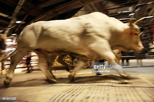 Bulls arrive at Madison Square Garden for the PBR tournament this weekend on January 16 2015 in New York City The event which will run through Sunday...