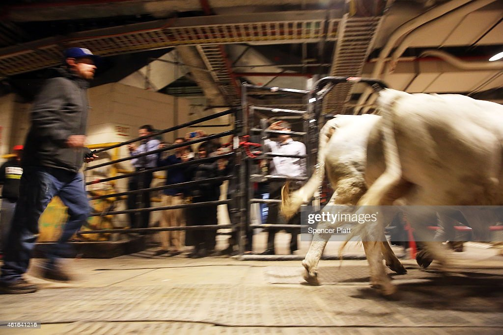 Annual Bull Riding Event Comes To New York City 39 S Madison Square Garden Getty Images