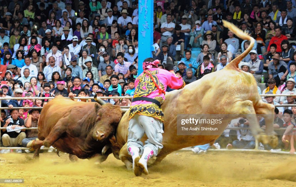 Bulls crash into each other at a bullfight tournament at Ito Kanko Dome on May 4, 2014 in Tokunoshima, Kagoshima, Japan. The bullfights were more reminiscent of sumo bouts than traditional bullfights in Spain with matadors. The tournament consisted of about 10 matches including the title matches for two ranks. If a bull backs off and refuses to engage, it is considered to have lost.
