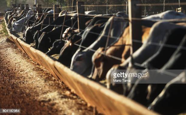 Bulls feed from a trough at a cattle feed lot in the Amazon on June 28 2017 near Chupinguaia Rondonia state Brazil The confinement farm currently...