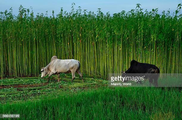 Bulls graze near a jute field Eighty percent of the world's high quality jute grows in Bangladesh Narail Jessore Bangladesh July 31 2011