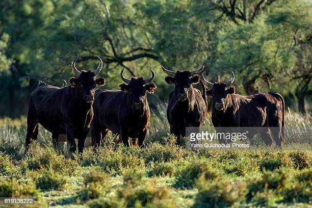 Bulls in the Camargue, France