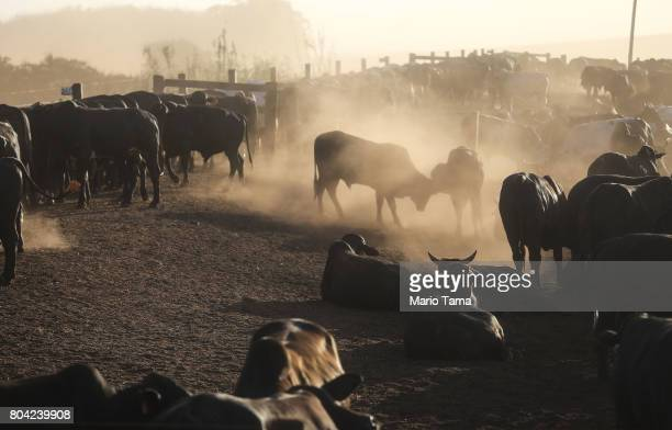 Bulls stand at a cattle feed lot in the Amazon on June 28 2017 near Chupinguaia Rondonia state Brazil The confinement farm currently holds about...