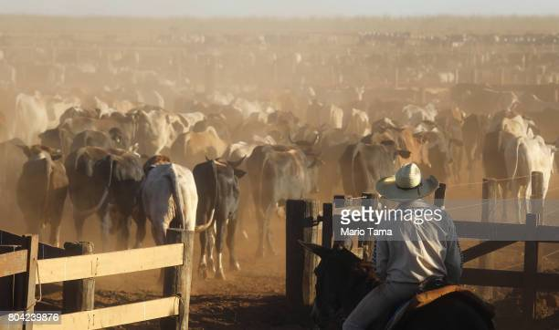 Bulls walk at a cattle feed lot in the Amazon on June 28 2017 near Chupinguaia Rondonia state Brazil The confinement farm currently holds about 38000...