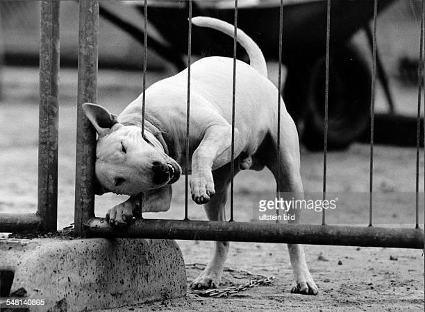 Bullterrier beisst in einen Zaun 1992