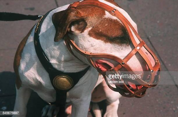 Bullterrier mit Maulkorb 2000