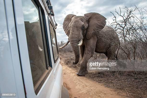 Bully elephant