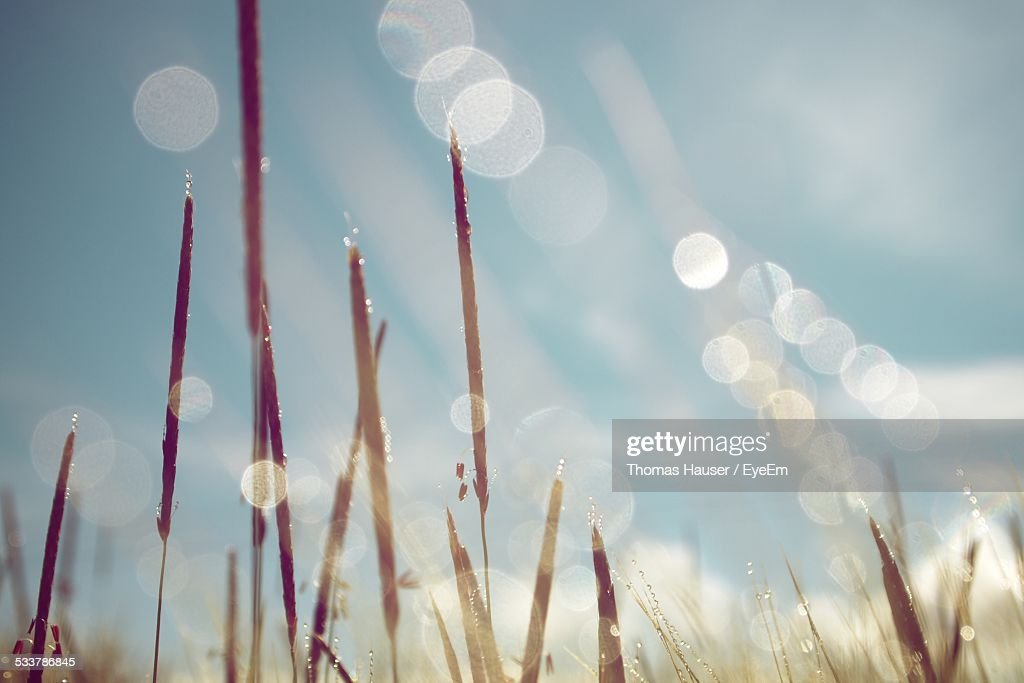 Bulrush In Sunlight