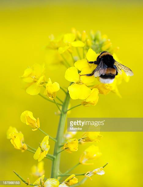 Bumble bee on an yellow flower