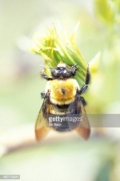 Bumble bee on flower bud in soft focus