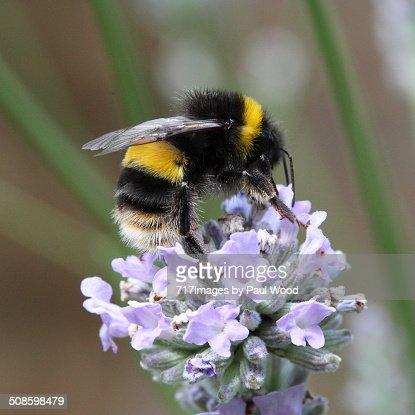 Bumble bee on lavender : Foto de stock