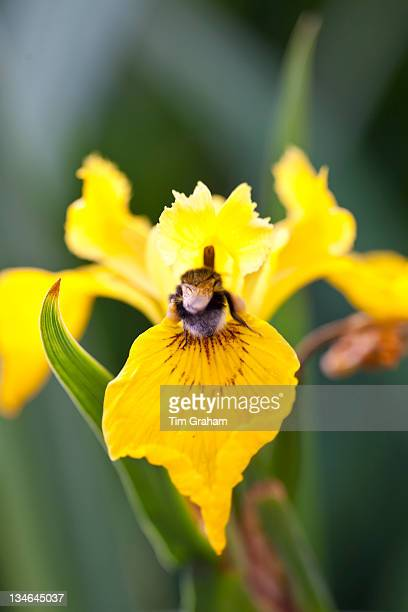 Bumble bee with pollen sacks gathering nectar from Yellow Flag Iris Iris pseudacorus in English garden UK#13#10#13#10