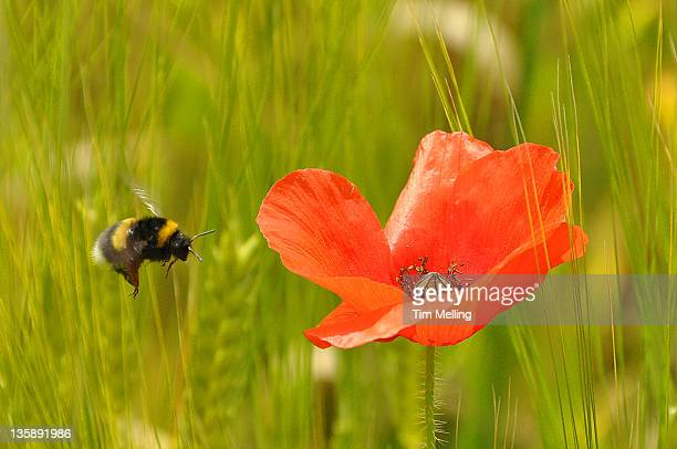 Bumblebee and Poppy of Barley in  field