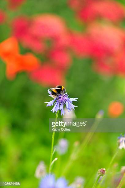 Bumblebee collecting nectar from a cornflower