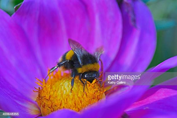 Bumblebee collecting nectar from a dahlia flower