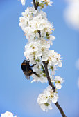Bumblebee Collecting Pollen From Apple Blossom