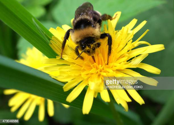 A bumblebee collects pollen from a dandelion flowers near the village of Gornaya Mayevka some 30 km outside the capital Bishkek on May 12 2015 AFP...