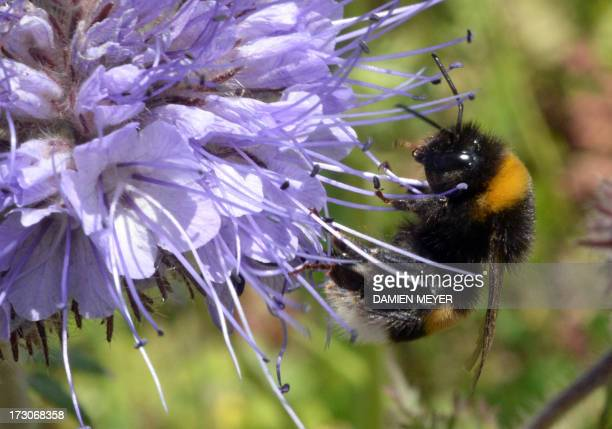 A bumblebee forages flowers on July 05 2013 in SaintMalo western France AFP PHOTO DAMIEN MEYER