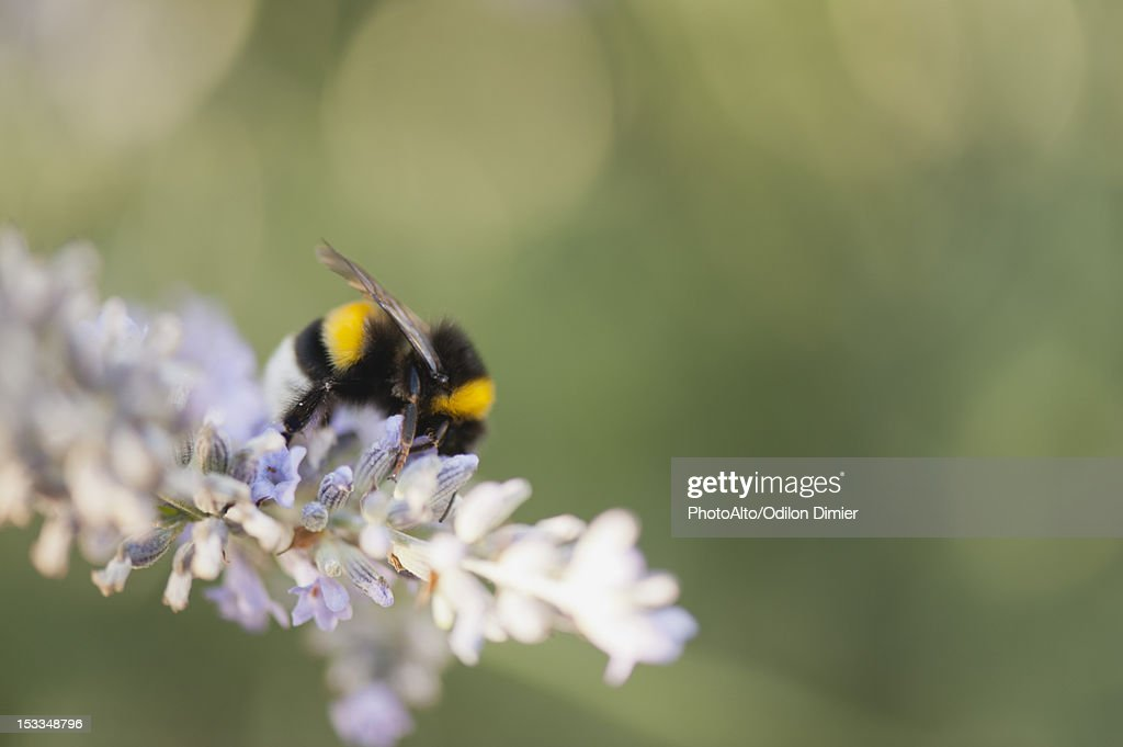 Bumblebee gathering pollen : Stock Photo