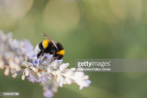 Bumblebee gathering pollen : Foto de stock