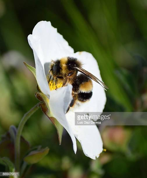 Bumblebee gathers nectar