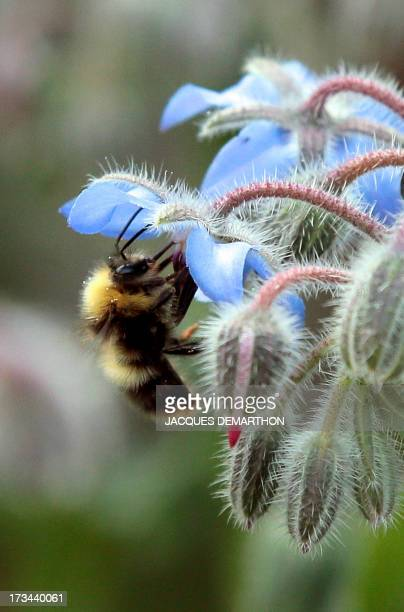 A bumblebee gathers pollen on a flower on July 13 2013 in the suburbs of Paris AFP PHOTO/ JACQUES DEMARTHON