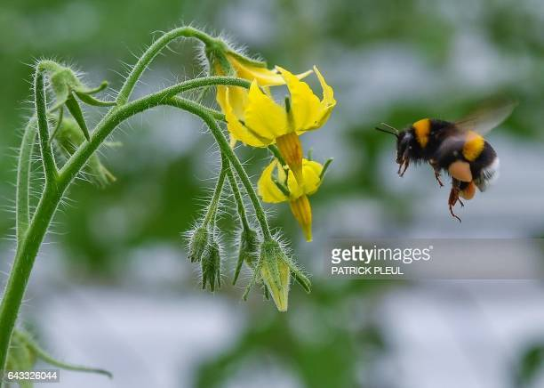 A bumblebee heads for a blooming tomato plant in a greenhouse of the Fontana Gartenbau GmbH gardening and horticultural company in Manschnow eastern...