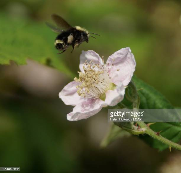 Bumblebee hovering