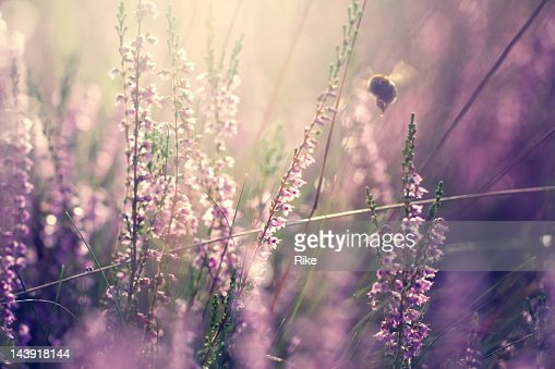 Bumblebee in heather