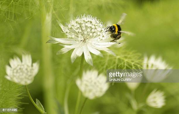 A Bumblebee is pictured on the press day of the Chelsea Flower Show in London on May 19 2008 Originally known as the Great Spring Show it was first...