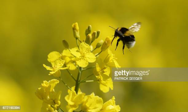 A bumblebee lands on a blooming rapeseed plant on April 24 2017 near Herdwangen southern Germany / AFP PHOTO / dpa / Patrick Seeger / Germany OUT