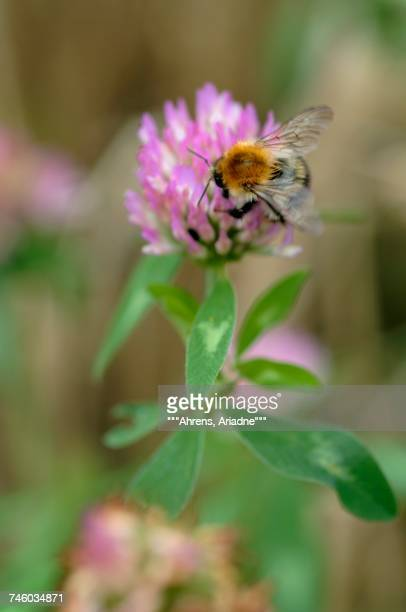 A bumblebee on a clover leaf (close-up)