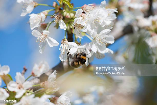 Bumblebee on cherry blossom