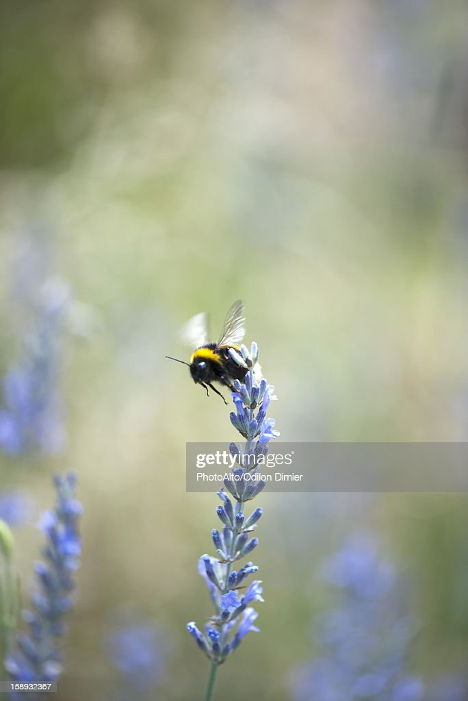 Bumblebee on lavender flowers : Stock Photo