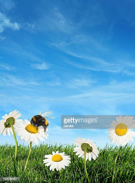 Bumblebee pollinating daisy flowers