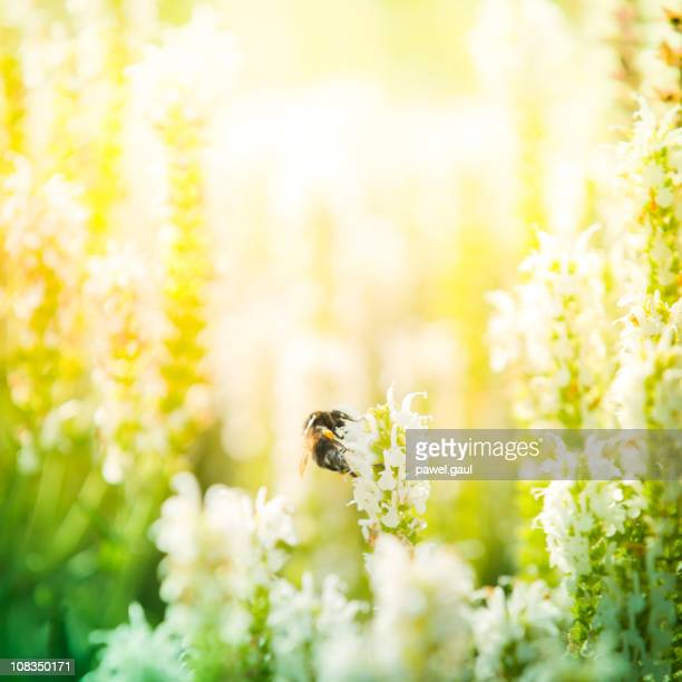 Bumblebee pollinating plant in meadow