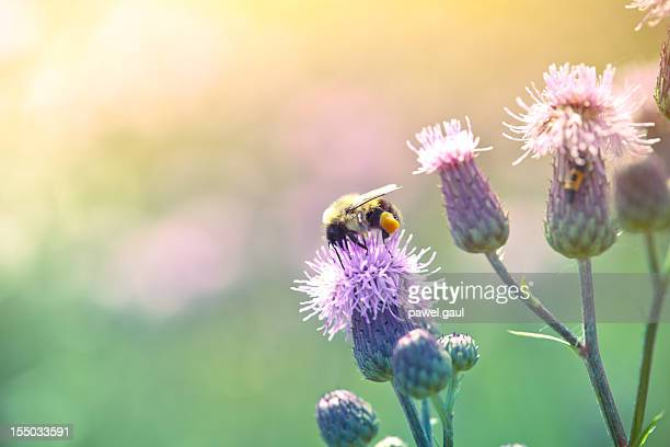 Hummel pollinating Distel in Wiese