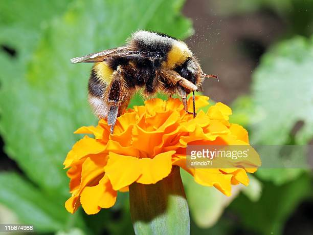 Bumblebee scratching