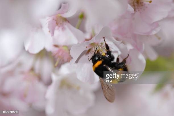 A bumblebee sits on a cherry blossom tree in Liebenau southern Germany on April 22 2013 Bumblebees visit the same patches of flowers every day as...