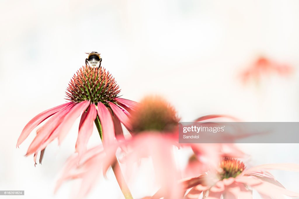 Bumblebee sitting on a pink flower, on white background : Foto de stock