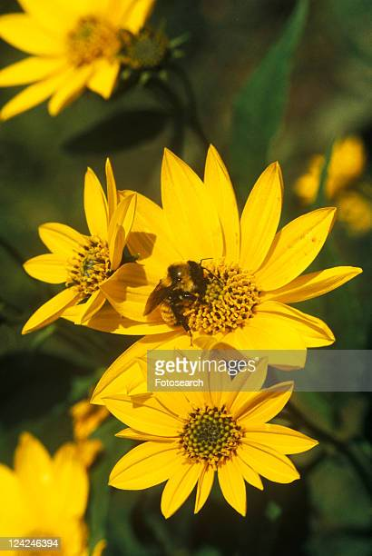 Bumblebees on yellow flowers