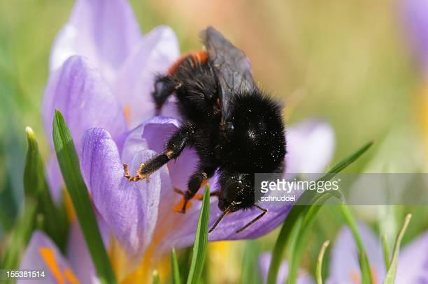 Bumblee-Biene auf wild-Krokus
