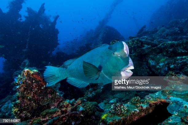 Bumphead parrotfish swimming over the Liberty Wreck in Bali, Indonesia.