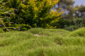 Bumpy green zoysia creeping grass leaves with lush blurred bushes on background closeup
